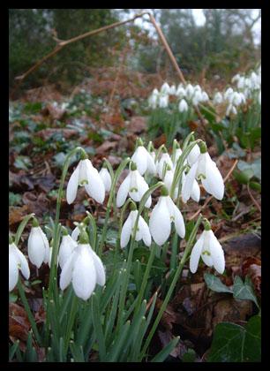 Snowdrops_20050205_44