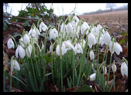 Snowdrops_20050205_48