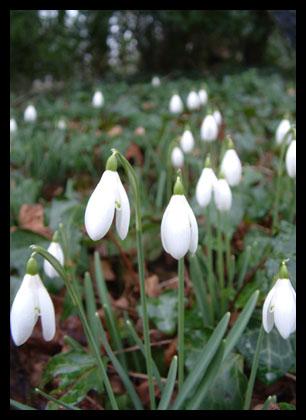 Snowdrops_20050205_54