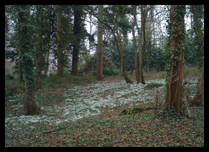 Snowdrops_20050205_60