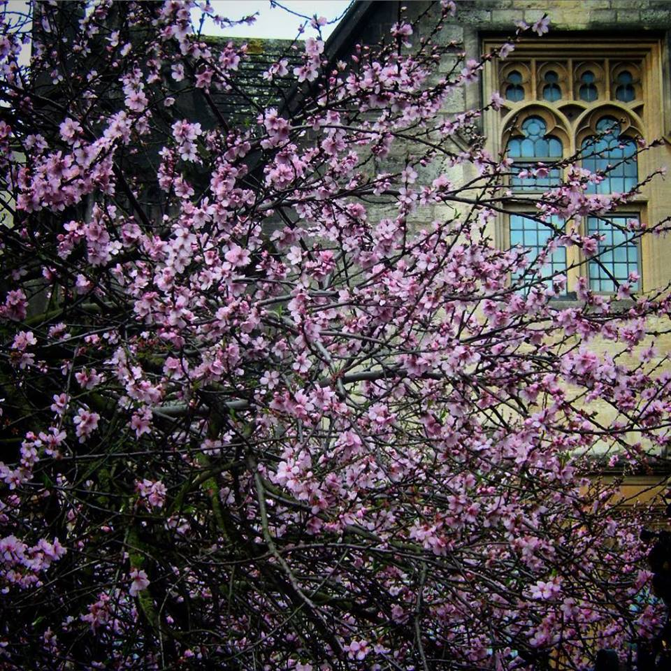 #1HappyYear Day 5: The blossom is out in Oxford. Love this tree! #100HappyDays