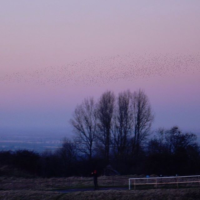 Murmuration forming... #starlings