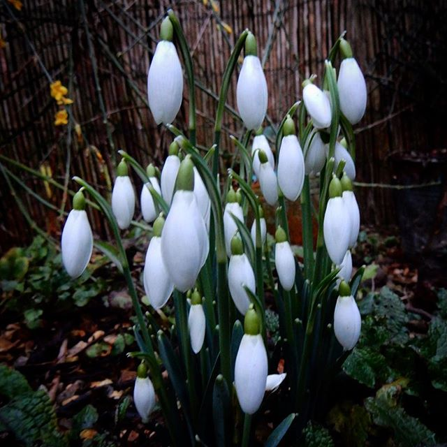 Snowdrops looking marvellous in the garden today... #galanthrophile