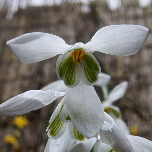 Like little lambs' ears! #snowdrops #galantrophile