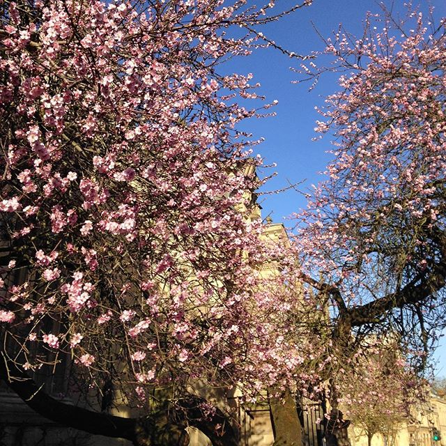 You know that #Spring???? is just around the corner when the old cherry tree on The High is in bloom... ????????