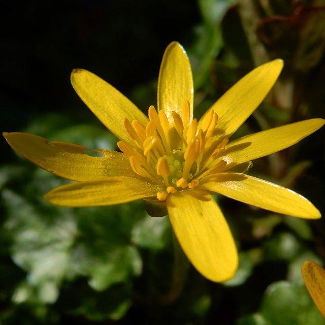 Celendine in the Spring Garden...