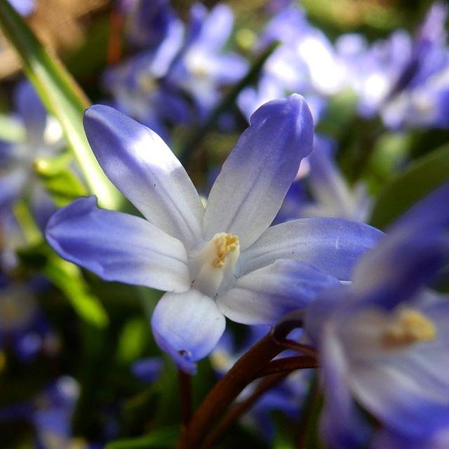 Scillas... #Spring #garden #MotheringSunday????????????