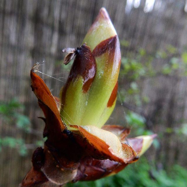 Sticky bud, budding... #horsechessnut #Spring