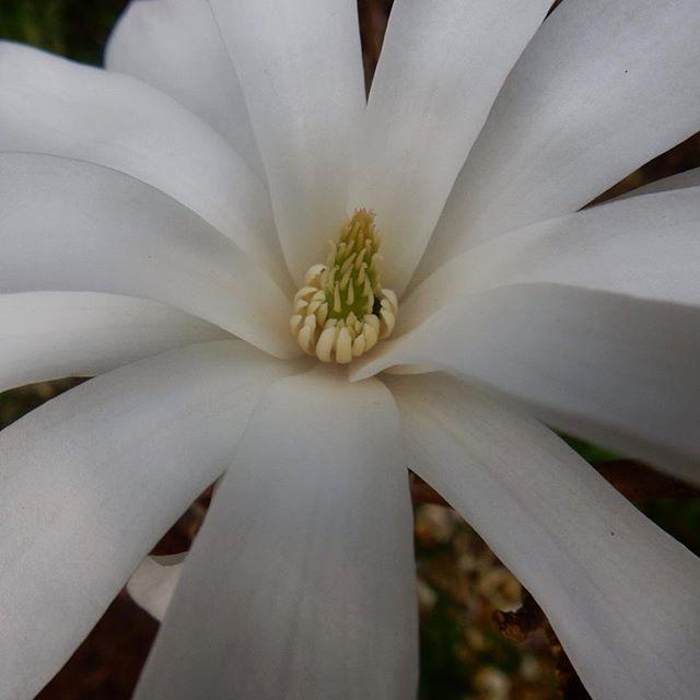 Magnolia stellata #magnolia #Spring