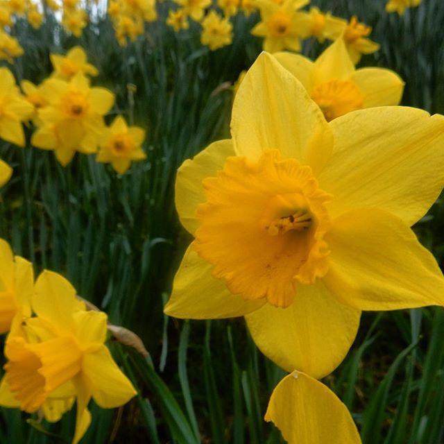 Yellow. #daffodils #Spring