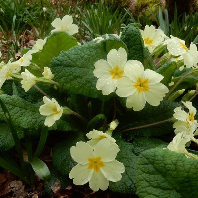 Woodland floor... #primroses #Spring