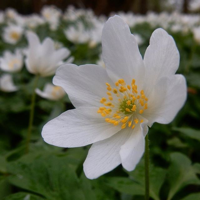 The stars of Spring on the woodland floor... #Spring #anemones