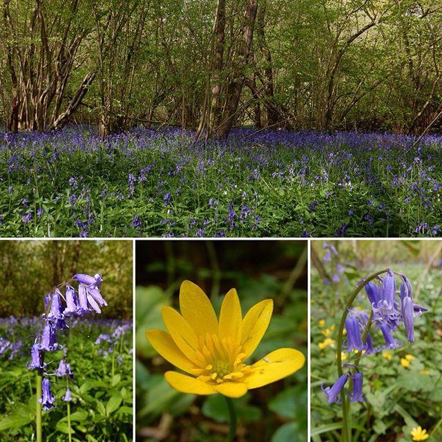 Walking amongst bluebell woods... #bluebells #woods #spring