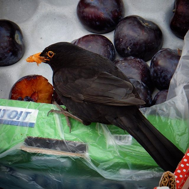 Naughty blackbird… #fruit #thieving