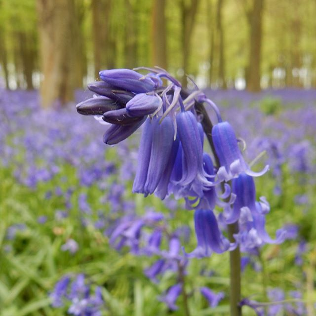 Why have I not been to Badbury Woods before? #bluebells #walks #beautiful #woods #woodland #spring