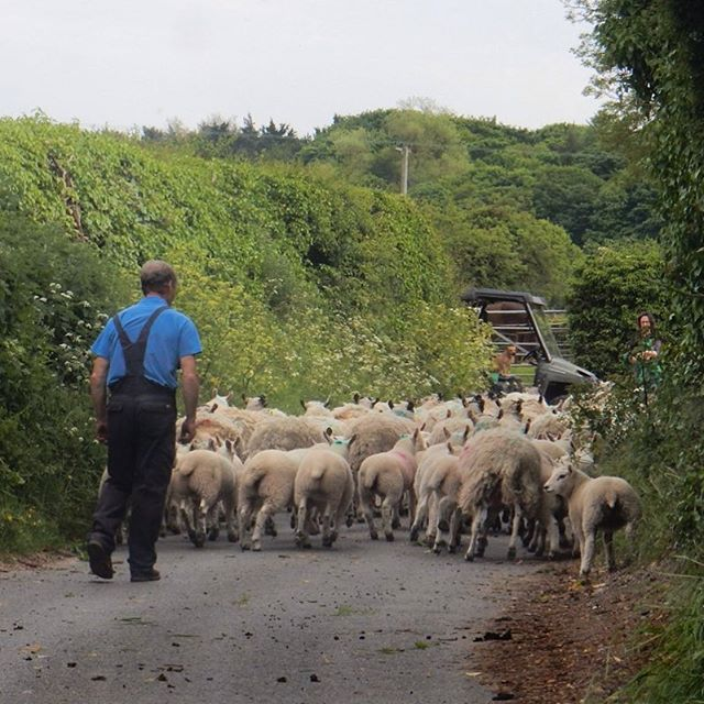 Country business... #sheep #shepherds #farming #northnorfolk