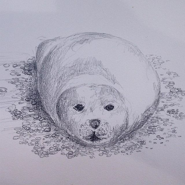 #blakeneypoint seal. It was hard trying to get my head around foreshortening… #amdrawing