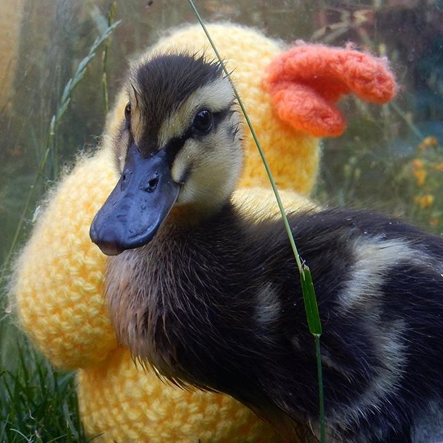 A growing boy (or girl)... #duckling???? #duck????