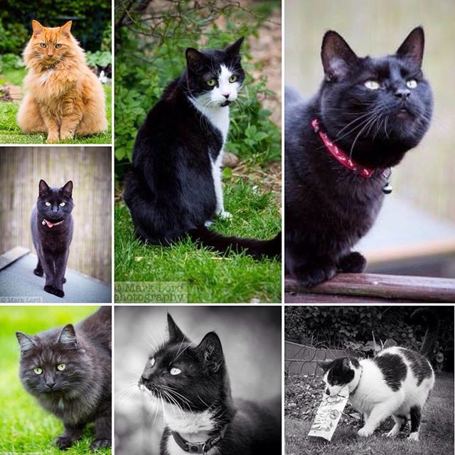 The Shepherd menagerie on #internationalcatday clockwise from top left: Aslan, Nellie, Arthur, Scooter, William, Blini, and Bella… #catsofinstagram #catsagram