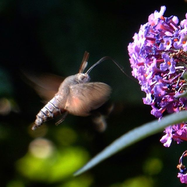 Hummingbird Hawkmoth on the budliea...