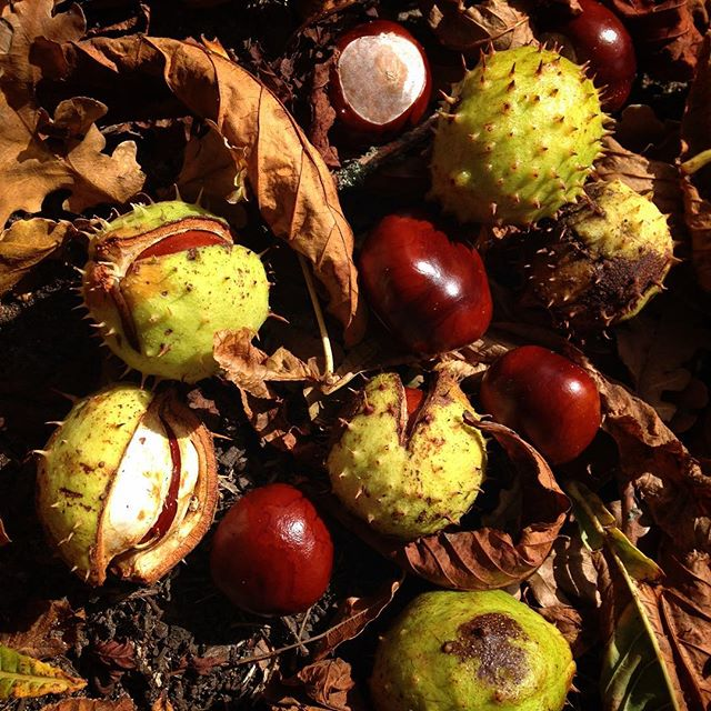 Fruits of the season… #conkers #autumn????