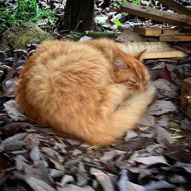 Nesting... #Aslan #cats #catsagram #catsofinstagram
