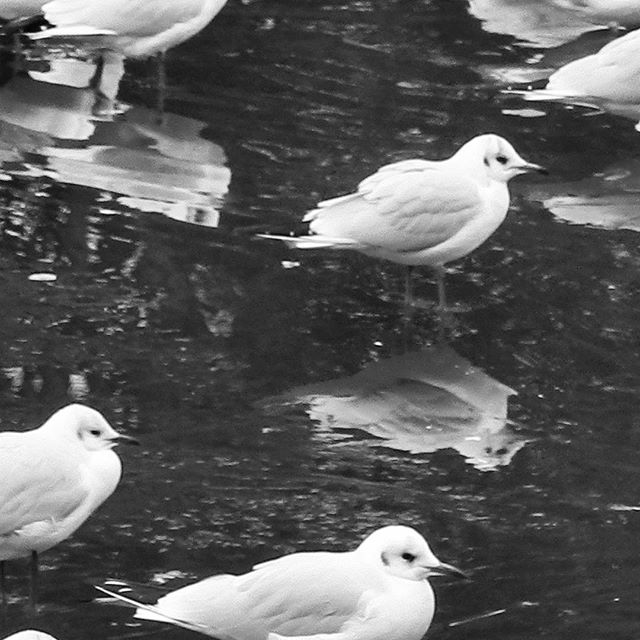 Black-backed gulls on the frozen duck pond...