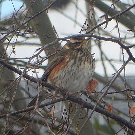 A Turdus iliacus aka. Redwing has visited our garden today. Very exciting! #birds #armchairbirdwatching