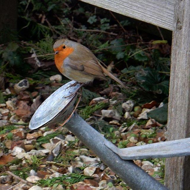 Garden visitor... #robin #garden #birds