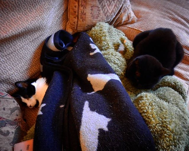 Contentment is too blankies to separate arch rivals… #nemises #bella #nellie #catsagram #cats #catsofinstagram