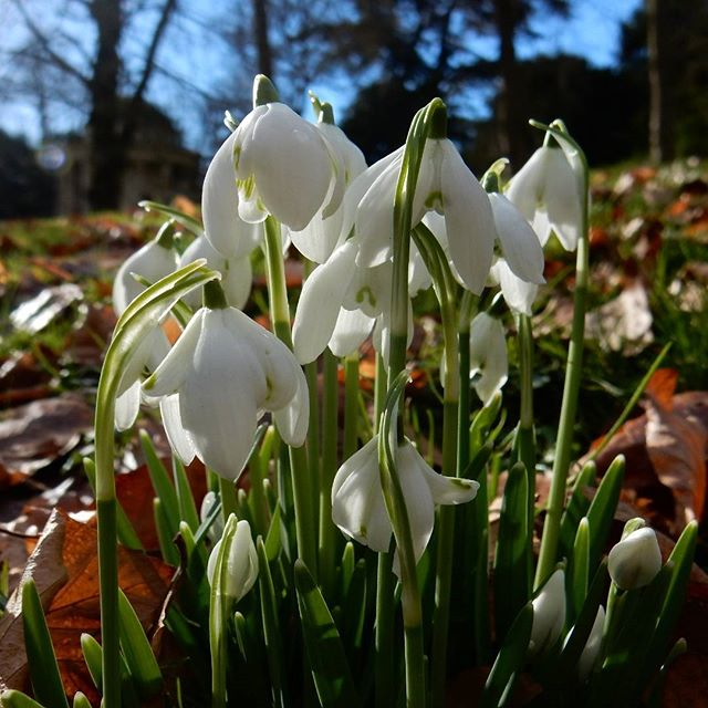 Signs of Spring #snowdrops #gallantrophile