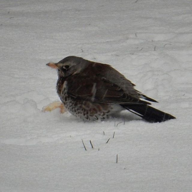 The upside to #snow❄ in March is that you get to see shy send reclusive Fieldfares when they start to frequent your #urbangarden… #fieldfares #birds #winter #spring @chris.packham @lindsey_chapman56 @bbcspringwatch