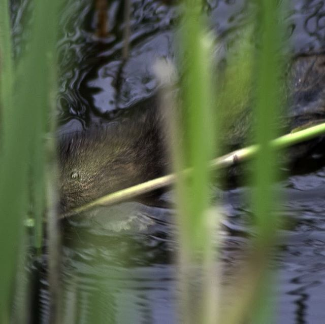 Little ratty feasting at Minsmere... . #ratties #watervoles #minsmere