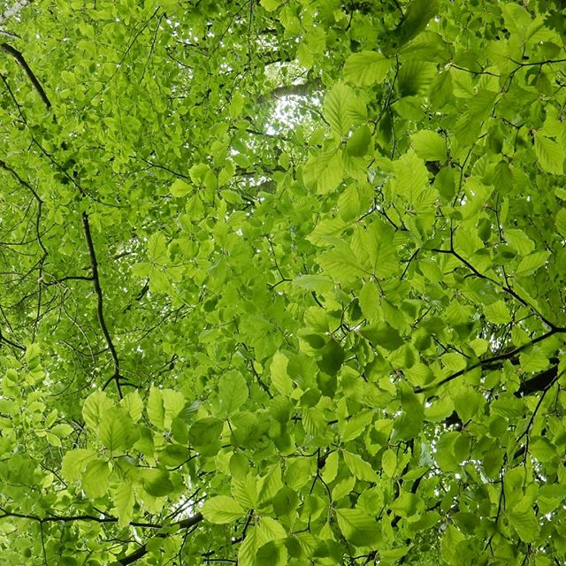 Heaven in green . #canopy #leaves???? #nature #woodland