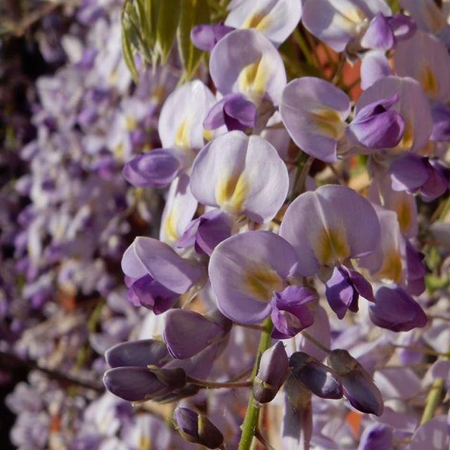 Beautiful, bold, wisteria...
