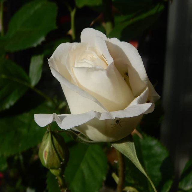 Wedding Day rose from @caroline_wakey64 9 years ago and other Spring flowers in the garden...