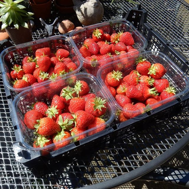 Went fruit picking at @rectoryfarmpyo this morning and to collect my prize of four beautiful punnets of the sweetest tasting strawberries that I won by suggesting on their Facebook page to serve them drizzled with elderflower cordial and a dash log fresh cream... #strawberries???? #pyo #jam #keepsmilingkeeponmakingjam