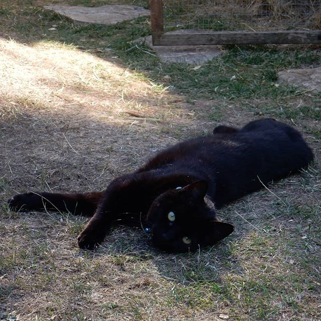 Bella black cat busy in the garden… #catsagram #catsofinstagram #uksummer #heatwave