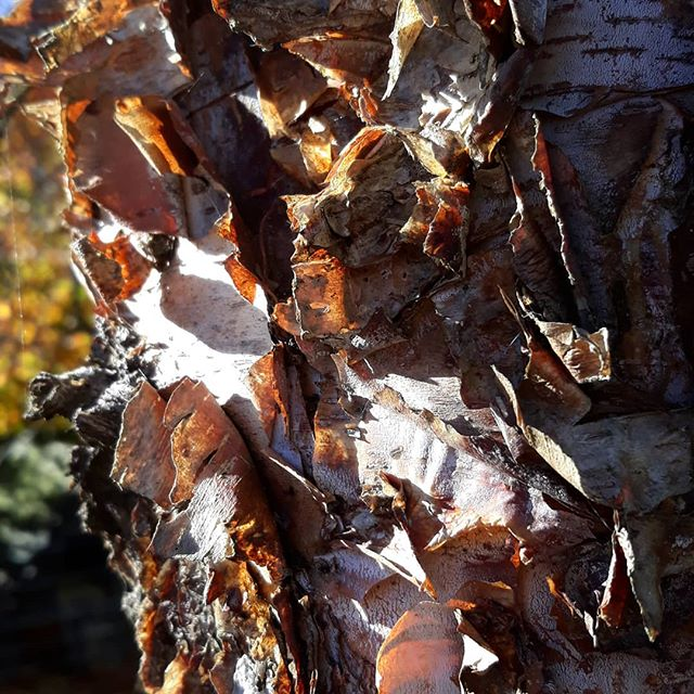 Autumn textures... #silverbirch #texture #bark