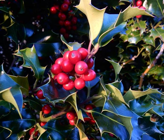 The holly and the ivy When they are both full grown… #carols #holly #Victorian #Christmas