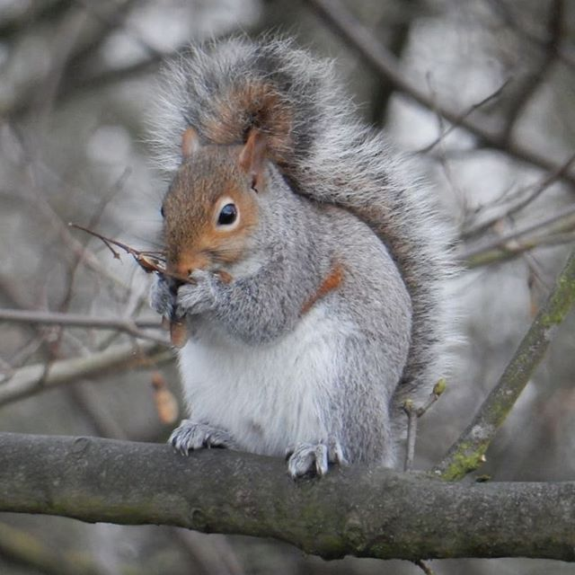 Little squiggles harvesting ash keys #squirrels #nature #winter