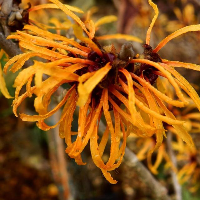 """When """"dead"""" sticks flower its literally the first sign that winter is failing and Spring is coming… #witchhazel #hope"""