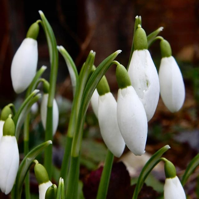 Snowdrops have always been, and always will be my favourite flower.. #favouriteflower #snowdrops #galanthus #galanthophile