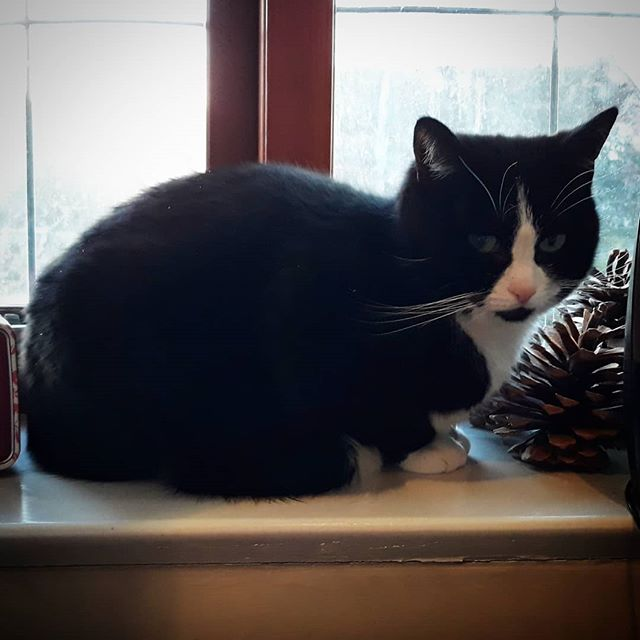 Whilst @vnemma's Grannie is in hospital we have a lodger living in my study. Chloe is a nervous little girl but I'm allowed strokes now... #catsofinstagram #catsagram