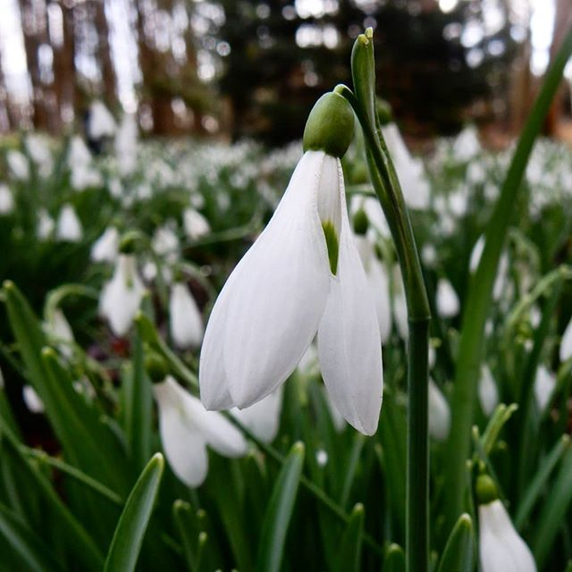 Galanthophiles of the world unite. I love snowdrops,  they really are my favourite flower - I think because they are simple and unshowy... #snowdrops #galanthus