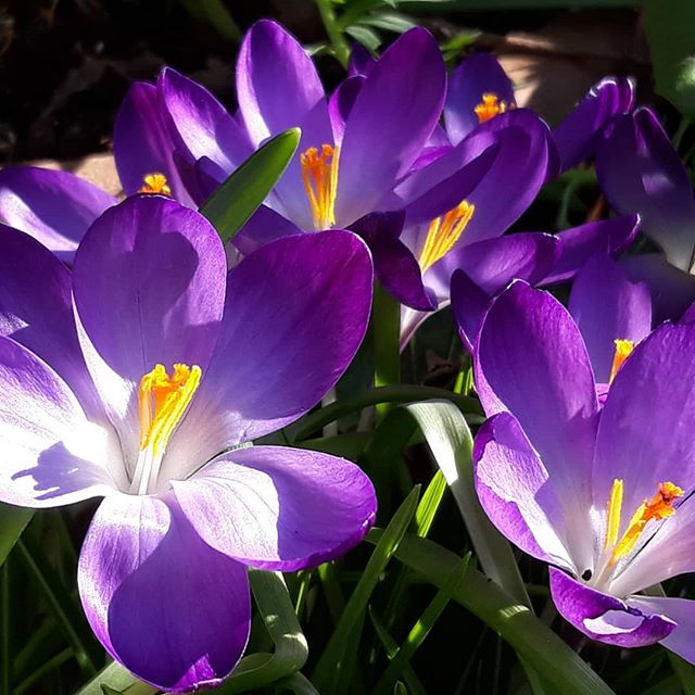 The colour of Spring… #garden #february #nofilter