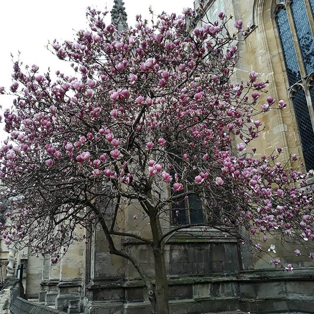 Wednesday's Oxford  magnolia is all about the pink!  #Oxford #universitychurchofstmarythevirgin #pink #magnolia #spring #springequinox