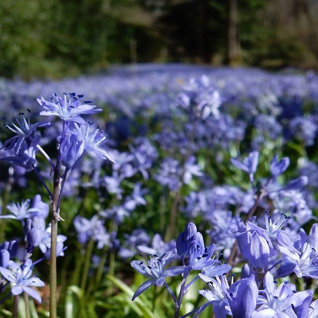Carpets of blue… #springwalks #springiscoming #spring #flowers🌾 @evenleywoodgarden