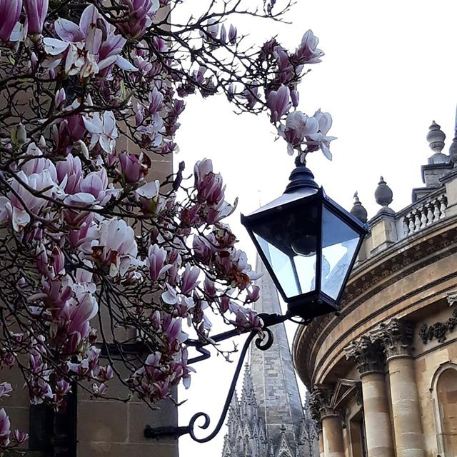 More of the Oxford magnolia, this time with added lantern, and dreaming spires... #Oxford #magnolia #radcliffesquare #radcliffecamera