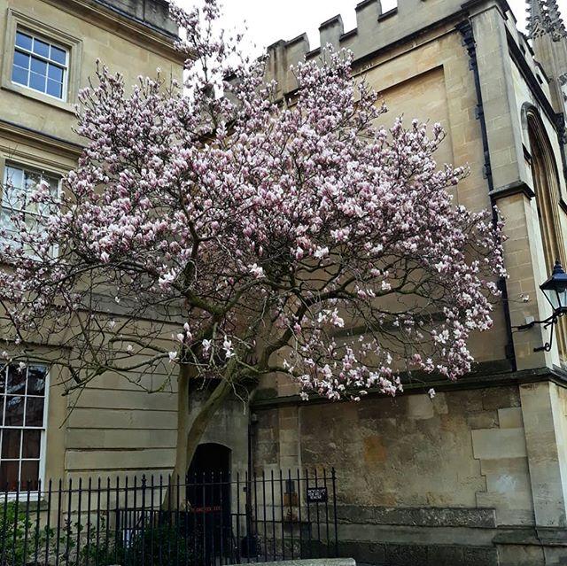 The magnificent magnolia tree... #magnolia #radcliffesquare
